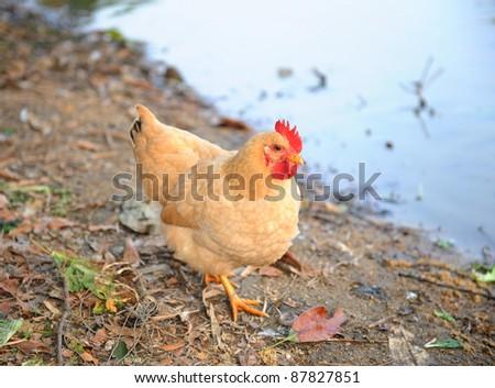 hen drinking water in biofarm