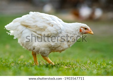 Hen feed on traditional rural barnyard. Close up of chicken standing on barn yard with green grass. Free range poultry farming concept. Photo stock ©