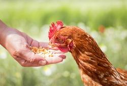 Hen feeding