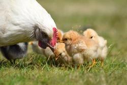 Hen / Female Chicken with her baby chicks