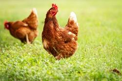 Hen foraging for food green grass chicken