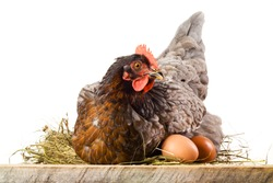 Hen in nest with eggs isolated on white