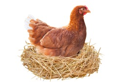 Hen is hatching her eggs in the coop, isolated on white background, with clipping path.