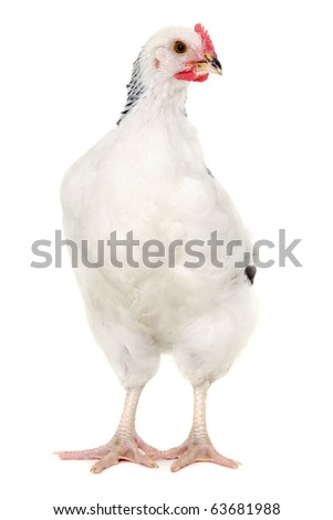 Hen is standing and looking on a white background.