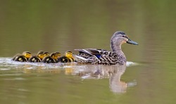 Hen mallard and baby ducklings swimming at the pond