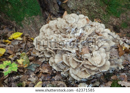 Hen of the Woods fungi grows natural