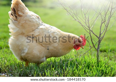Hen outside in the meadow at springtime