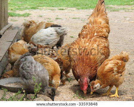 Hen with chickens eating the grain . Mommy and babies.