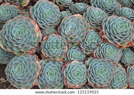Hens and Chicks or House leek Succulent