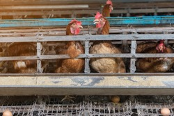 Hens and Eggs Chickens in farm, Cage closed, chicken industry,