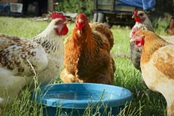 hens drinking fresh water from a blue bowl in rural areas