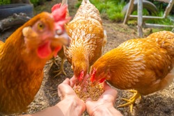 Hens eating from hands, POV image - hen party - feeding domestic chickens - focus on two frontal chickens heads