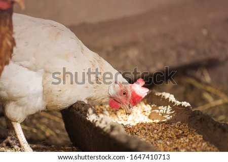 Hens feeding with corns in the hen house. Farm business with group of chicken. White hen in chicken coop. Chicken in hen house eating food