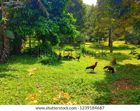 hens in garden #1239184687