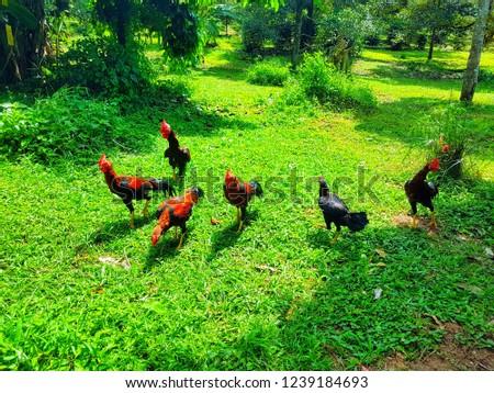 hens in garden #1239184693