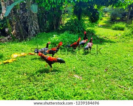 hens in garden #1239184696