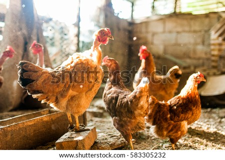 hens in hen cage in farm in italy with sun light