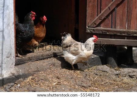 Hens leaving coop