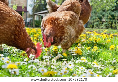 Hens outside in the meadow