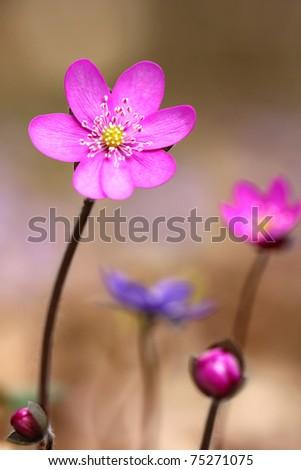 Hepatica nobilis - (Anemone hepatica = Hepatica nobilis) Common Hepatica, kidneywort, pennywort, liverwort