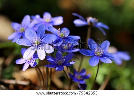 Hepatica nobilis - Common Hepatica, liverwort, kidneywort, pennywort, Anemone hepatica