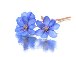 Hepatica nobilis flowers on a white background with water drops