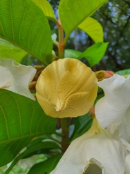 Herald's trumpet flower The ivy is a white flower with a soft fragrance, grown in a beautiful garden.