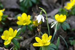 Heralds of spring - winterlings and snowdrops herald the beginning of spring, the beginning of spring with early bloomers in nature, (Eranthis hyemalis)