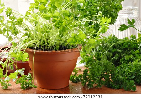 Herb gardening still life of parsley plants by sunlit kitchen window.  Closeup with shallow dof.