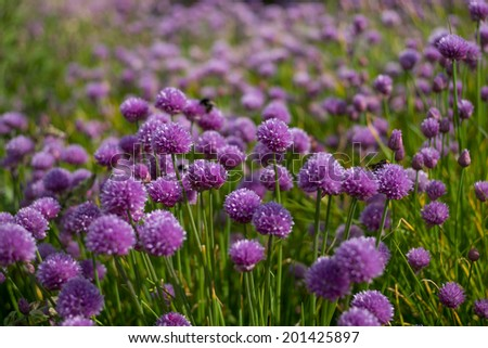 Herb Gardens, Chives