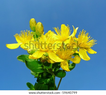 Herb - Klamath weed - common St. John's wort in detail on blue background