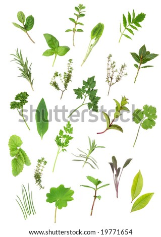 Herb leaf selection of parsley, lavender, sage, bay, mint, oregano, valerian, (vallium substitute) thyme, ladies mantle, spearmint, rosemary; chives, lemon balm; comfrey, basil. Over white background.