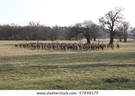 Herb of deer in the Windsor Great Park