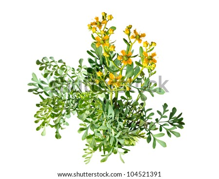 Herb of Grace on white background