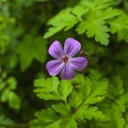 Herb-Robert flower (Geranium robertianum)
