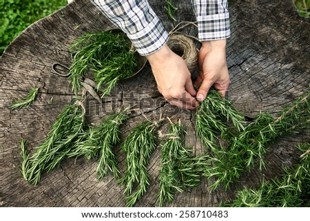 Herb Rosemary. Gardener is tieing up bunches of fresh rosemary.