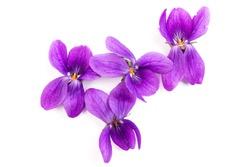 Herbaceous perennial plant - Viola odorata (wood violet, sweet violet, english violet, garden viole). Spring  purple flowers of violets close up