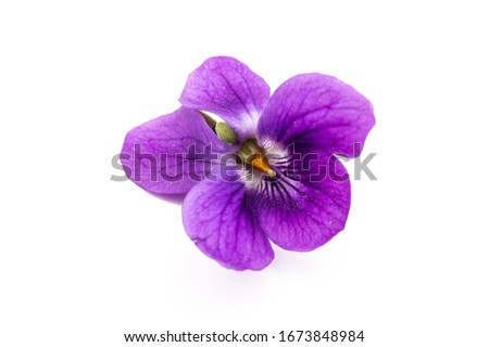 Photo of  Herbaceous perennial plant - Viola odorata (wood violet, sweet violet, english violet, garden viole). Spring  purple flowers of violets close up