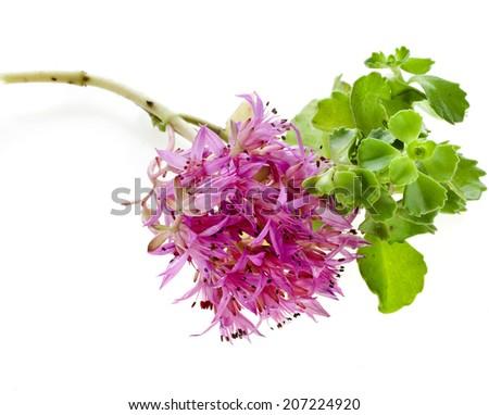Herbaceous Perennial Succulent Plant Crassulaceae Sedum