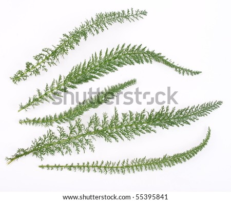 Herbal medicine: Achillea leaves
