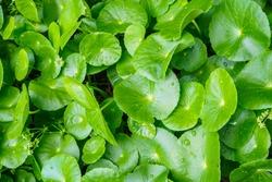 Herbal medicine leaves of Centella asiatica known as gotu kola