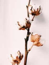 Herbarium, cotton bouquet of flowers on white background. Four cotton buds on a white background. Minimalism and the aesthetics of the plants. Color photo of a dried flower. An elegant branch of real
