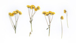 Herbarium of small beautiful yellow flowers on the legs on a white background