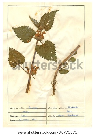 Herbarium sheet - pressed plant : Lamium album (White Deadnettle) is a flowering plant in the family Lamiaceae, native throughout Europe and Western Asia.