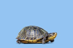 Herbivores endangered species amphibian turtle tortoise reptile slow concept shell animal pet against blue background