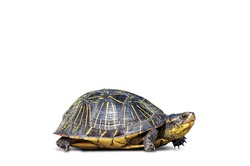 Herbivores endangered species amphibian turtle tortoise reptile slow concept shell animal pet isolate white background