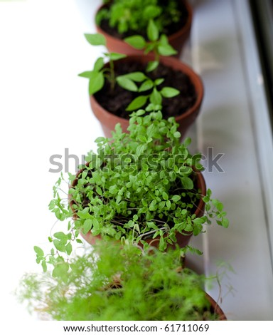 herbs grow on window-sill