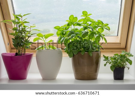 herbs growing in pot on kitchen window