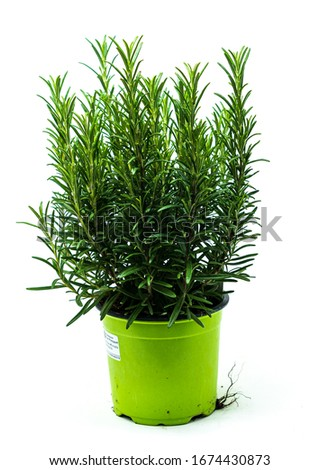 Herbs in production pots on a white background Stock photo ©