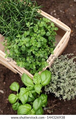 Herbs prepared for planting. Rosemary, oregano, thyme and basil. #144326938